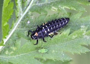 larve-adaliabipunctata